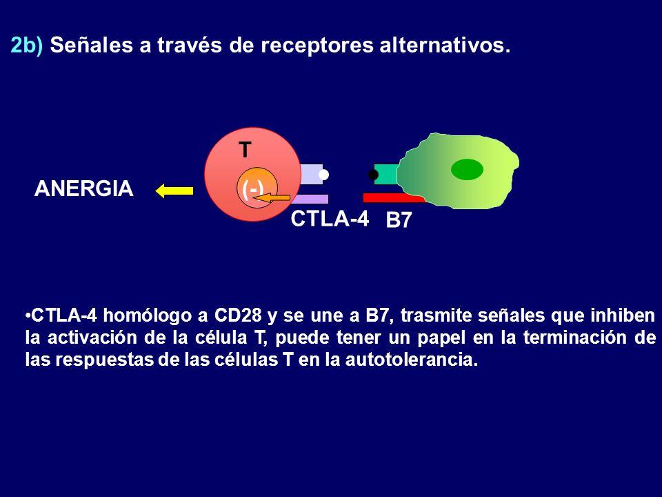 2b) Señales a través de receptores alternativos. (-) CTLA-4 B7 ANERGIA CTLA-4 homólogo a CD28 y se une a B7, trasmite señales que inhiben la activació