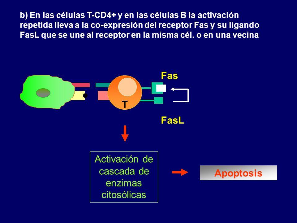 b) En las células T-CD4+ y en las células B la activación repetida lleva a la co-expresión del receptor Fas y su ligando FasL que se une al receptor e