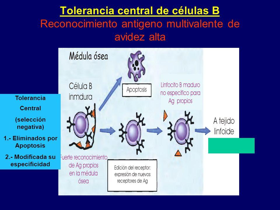 Tolerancia central de células B Reconocimiento antigeno multivalente de avidez alta Tolerancia Central (selección negativa) 1.- Eliminados por Apoptos