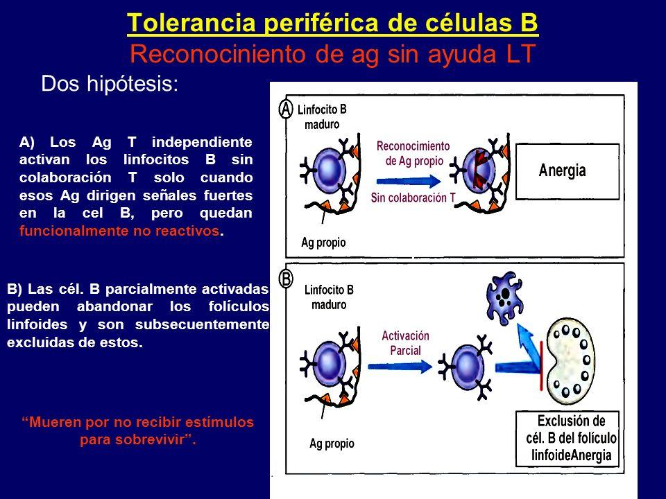Tolerancia periférica de células B Reconociniento de ag sin ayuda LT Dos hipótesis: A) Los Ag T independiente activan los linfocitos B sin colaboració