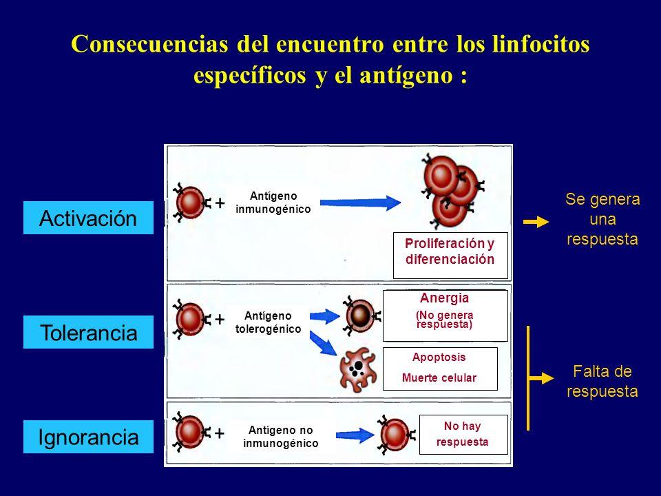 Consecuencias del encuentro entre los linfocitos específicos y el antígeno : Antígeno inmunogénico Antígeno tolerogénico Antígeno no inmunogénico Prol