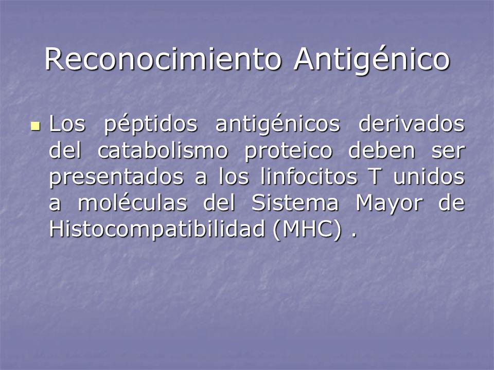 Reconocimiento Antigénico Los péptidos antigénicos derivados del catabolismo proteico deben ser presentados a los linfocitos T unidos a moléculas del