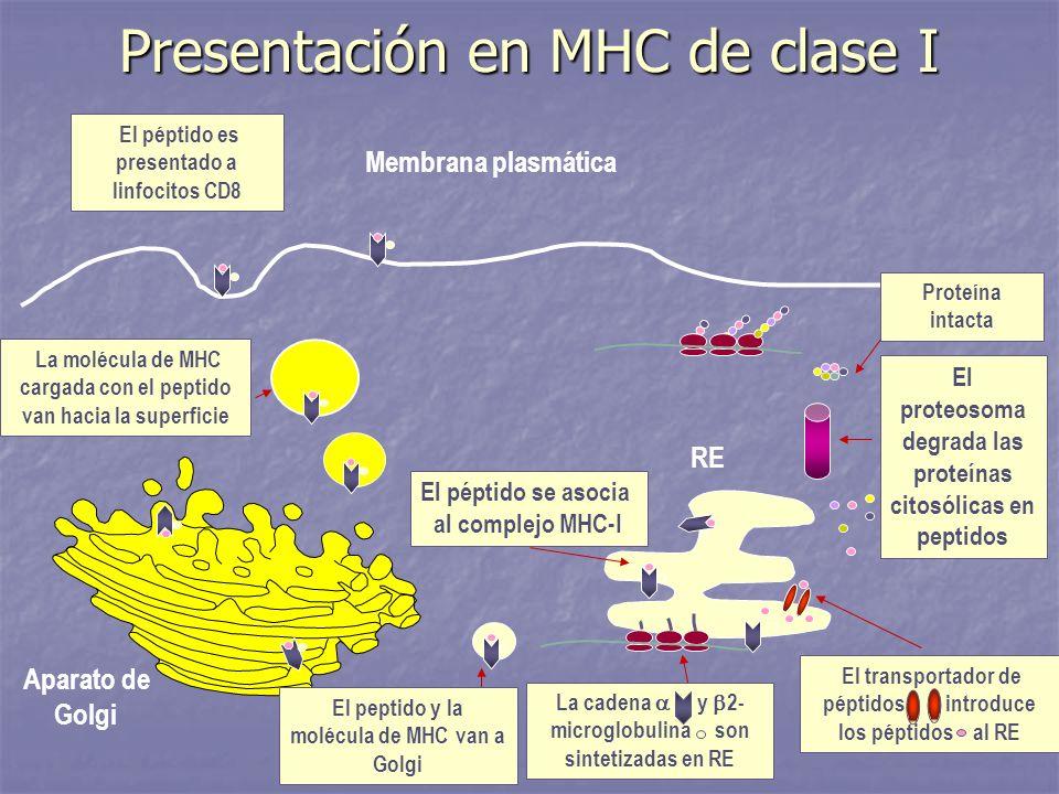 Presentación en MHC de clase I Membrana plasmática El proteosoma degrada las proteínas citosólicas en peptidos La cadena y 2- microglobulina son sinte