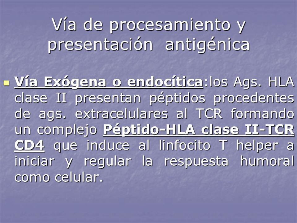 Vía de procesamiento y presentación antigénica Vía Exógena o endocítica:los Ags. HLA clase II presentan péptidos procedentes de ags. extracelulares al