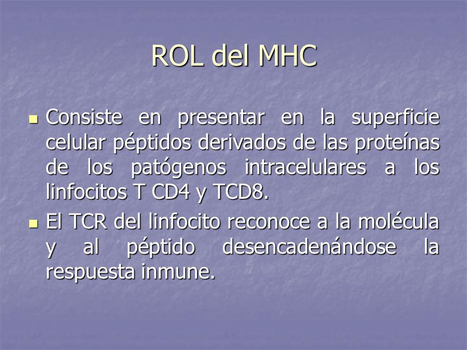 ROL del MHC Consiste en presentar en la superficie celular péptidos derivados de las proteínas de los patógenos intracelulares a los linfocitos T CD4
