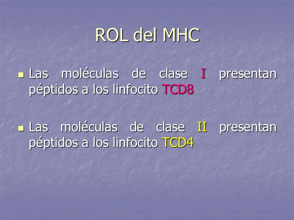 ROL del MHC Las moléculas de clase I presentan péptidos a los linfocito TCD8 Las moléculas de clase I presentan péptidos a los linfocito TCD8 Las molé