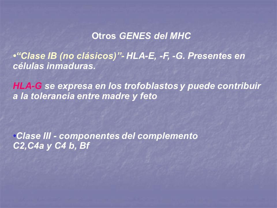 Otros GENES del MHC Clase IB (no clásicos)- HLA-E, -F, -G. Presentes en células inmaduras. HLA-G se expresa en los trofoblastos y puede contribuir a l