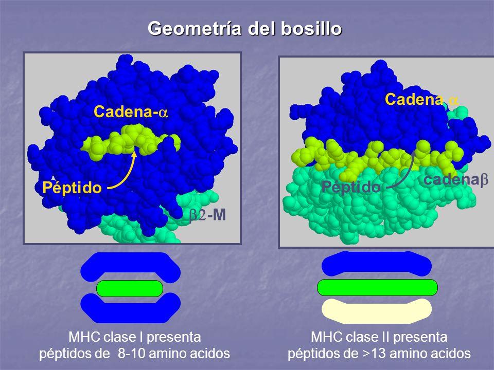 MHC clase I presenta péptidos de 8-10 amino acidos Geometría del bosillo MHC clase II presenta péptidos de >13 amino acidos -M Cadena- Péptido Cadena