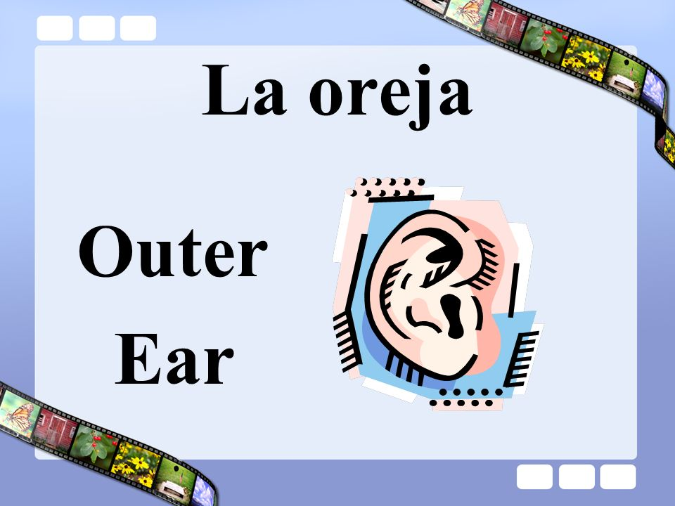 La oreja Outer Ear