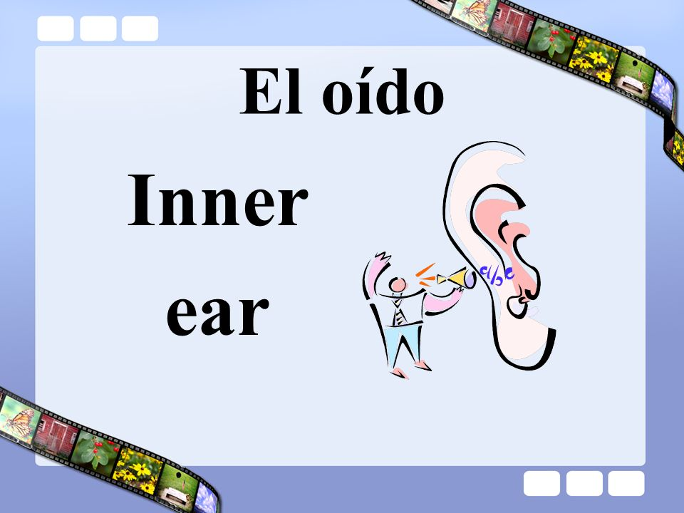 El oído Inner ear