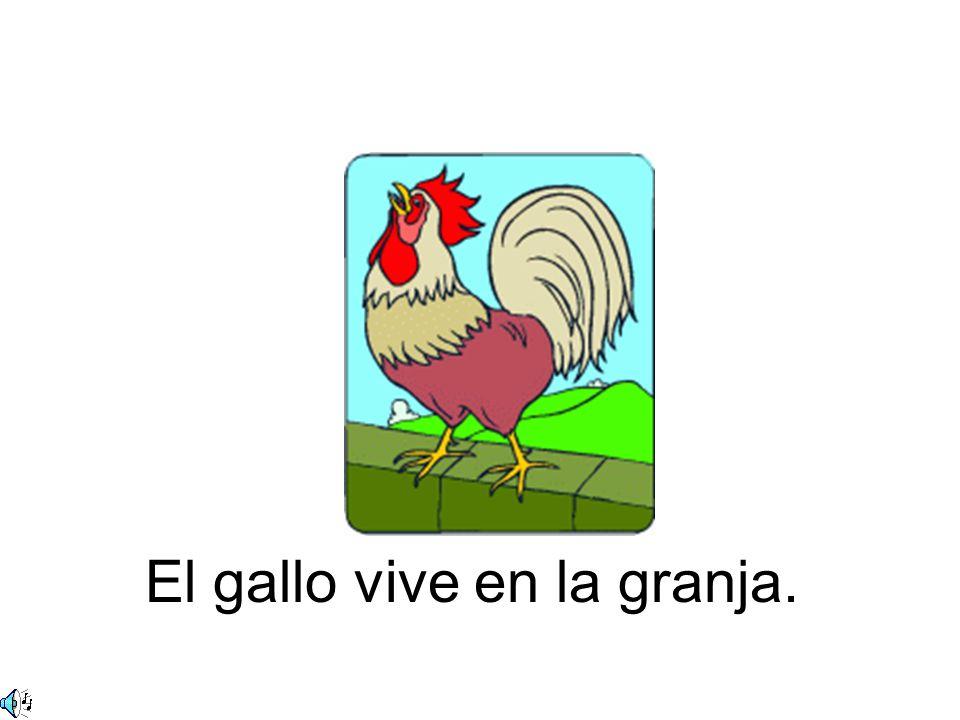 El gallo vive en la granja.