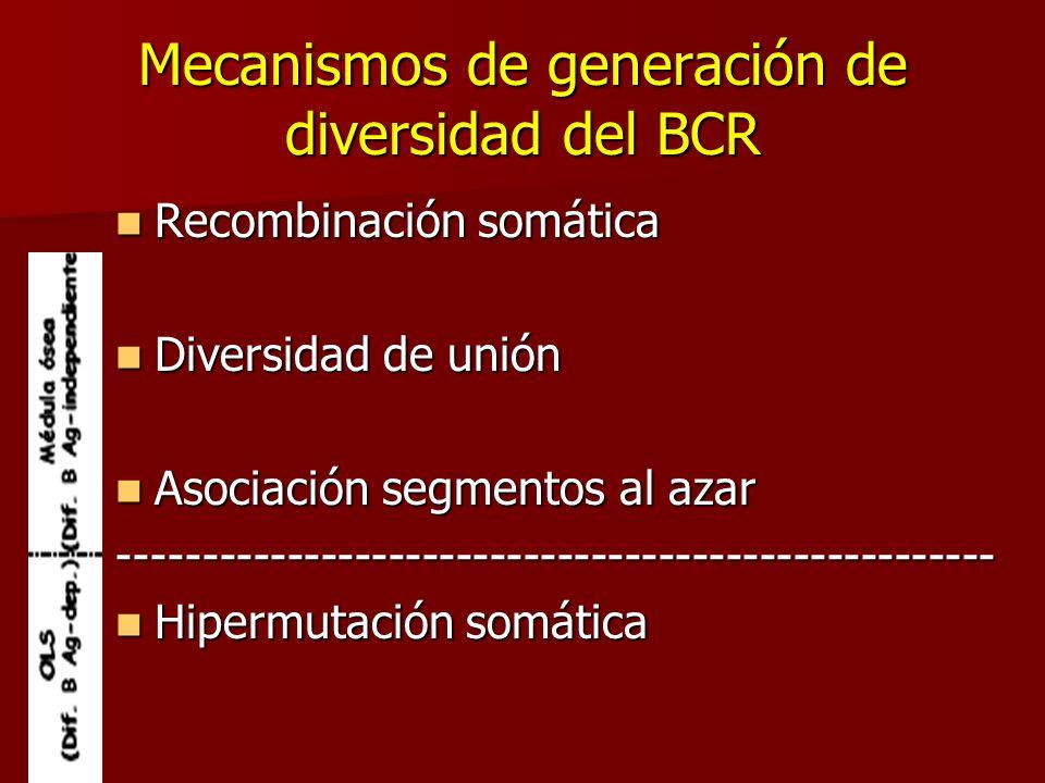 Mecanismos de generación de diversidad del BCR Recombinación somática Recombinación somática Diversidad de unión Diversidad de unión Asociación segmen