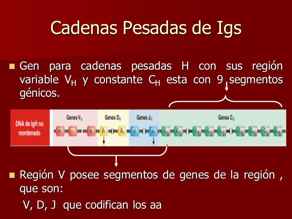 Cadenas Pesadas de Igs Gen para cadenas pesadas H con sus región variable V y constante C esta con 9 segmentos génicos. Gen para cadenas pesadas H con