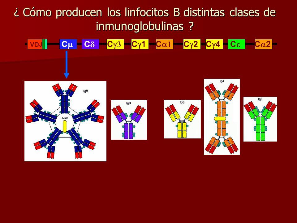 ¿ Cómo producen los linfocitos B distintas clases de inmunoglobulinas ? C C C C 1 C 2 C 4 C C 2 C VDJ