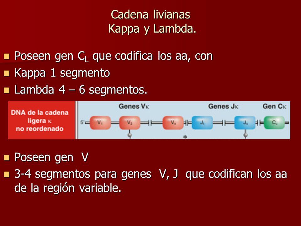 Cadena livianas Kappa y Lambda. Poseen gen C que codifica los aa, con Poseen gen C L que codifica los aa, con Kappa 1 segmento Kappa 1 segmento Lambda