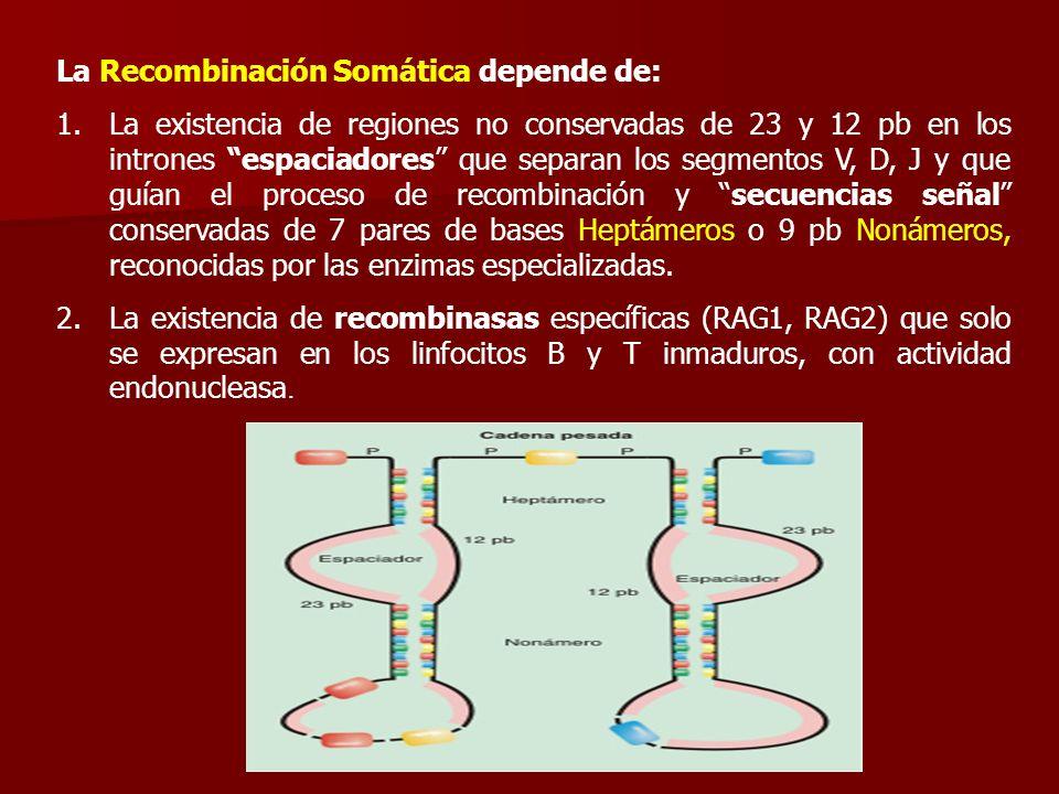 La Recombinación Somática depende de: 1.La existencia de regiones no conservadas de 23 y 12 pb en los intrones espaciadores que separan los segmentos