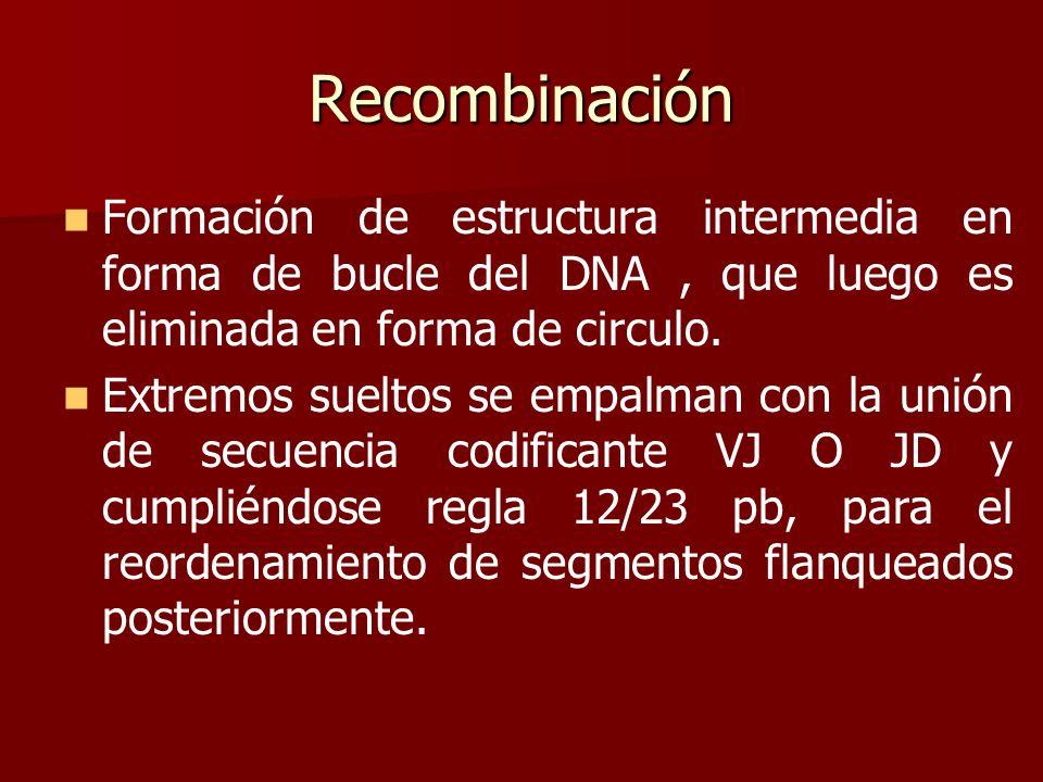Recombinación Formación de estructura intermedia en forma de bucle del DNA, que luego es eliminada en forma de circulo. Extremos sueltos se empalman c