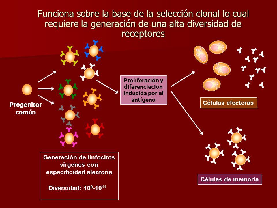 Funciona sobre la base de la selección clonal lo cual requiere la generación de una alta diversidad de receptores Progenitor común Generación de linfo