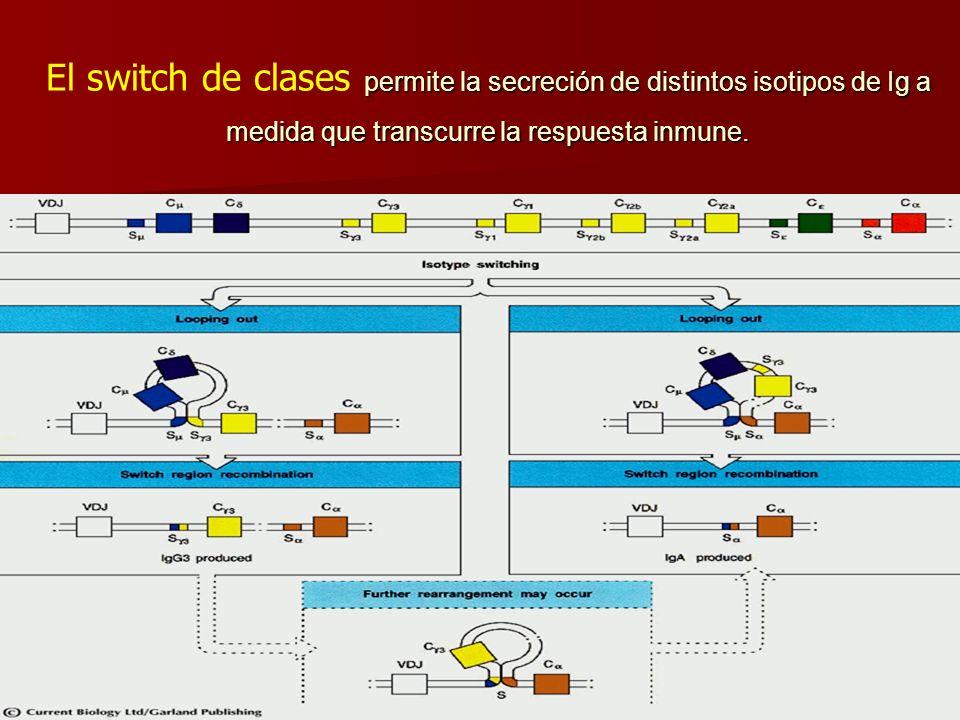 permite la secreción de distintos isotipos de Ig a medida que transcurre la respuesta inmune. El switch de clases permite la secreción de distintos is