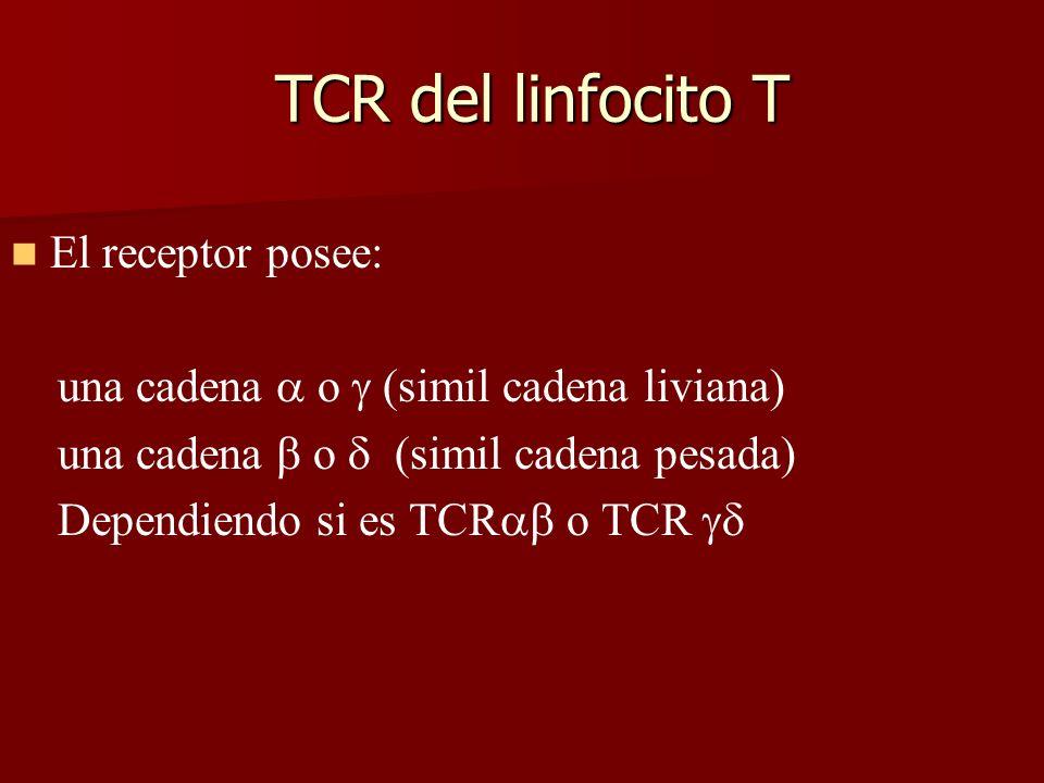 TCR del linfocito T TCR del linfocito T El receptor posee: una cadena o (simil cadena liviana) una cadena o (simil cadena pesada) Dependiendo si es TC