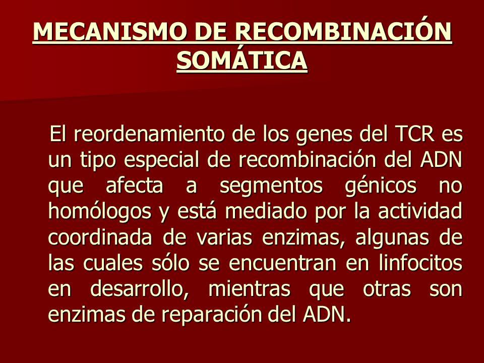 MECANISMO DE RECOMBINACIÓN SOMÁTICA El reordenamiento de los genes del TCR es un tipo especial de recombinación del ADN que afecta a segmentos génicos
