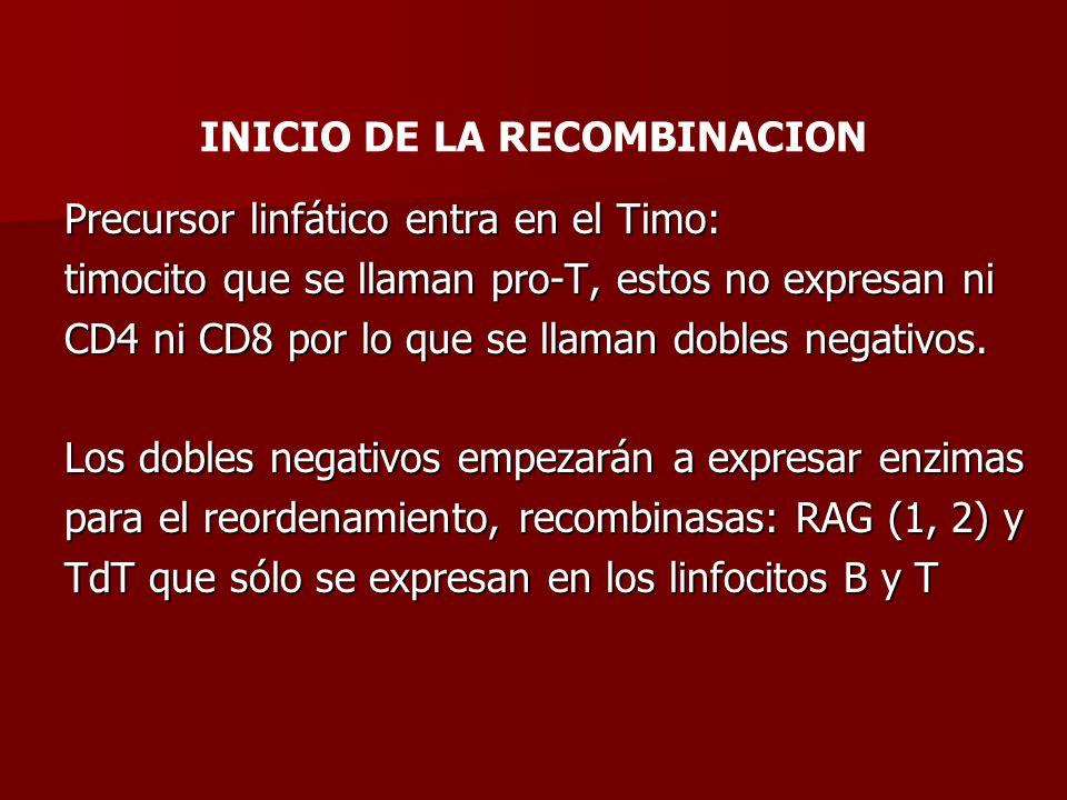 INICIO DE LA RECOMBINACION Precursor linfático entra en el Timo: timocito que se llaman pro-T, estos no expresan ni CD4 ni CD8 por lo que se llaman do