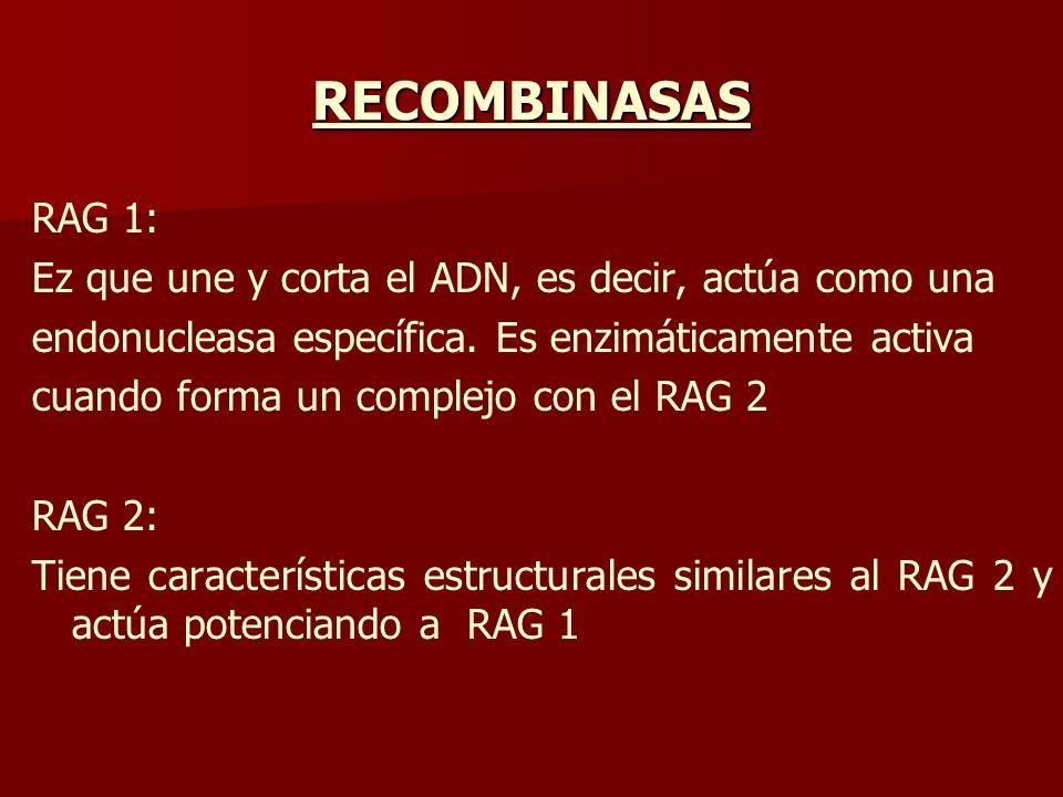 RECOMBINASAS RAG 1: Ez que une y corta el ADN, es decir, actúa como una endonucleasa específica. Es enzimáticamente activa cuando forma un complejo co