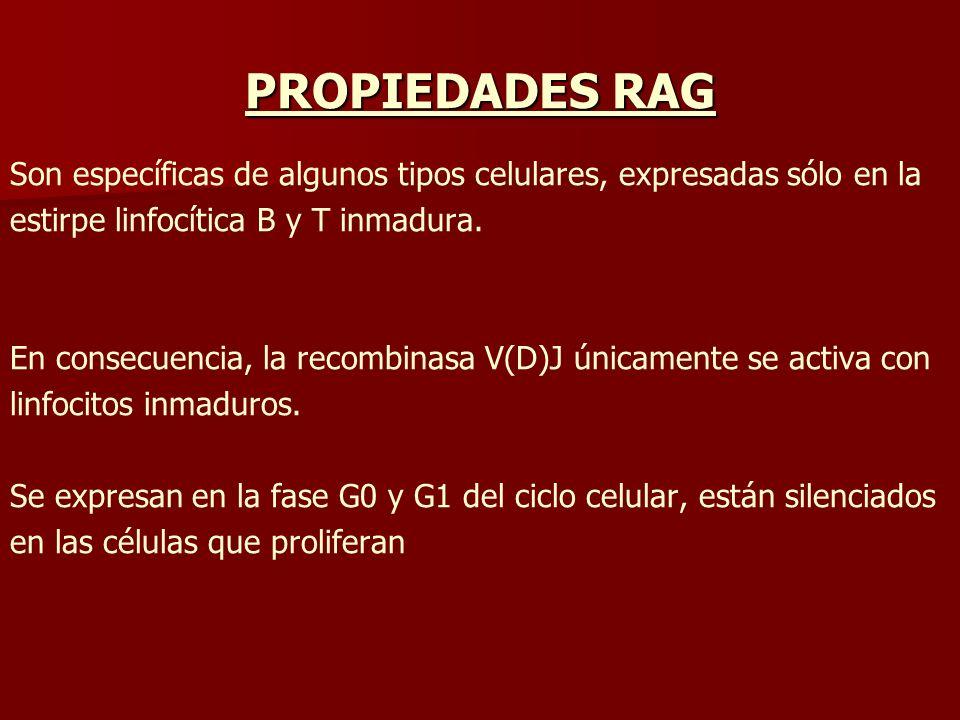 PROPIEDADES RAG Son específicas de algunos tipos celulares, expresadas sólo en la estirpe linfocítica B y T inmadura. En consecuencia, la recombinasa