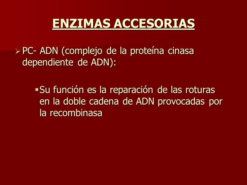 ENZIMAS ACCESORIAS PC- ADN (complejo de la proteína cinasa dependiente de ADN): PC- ADN (complejo de la proteína cinasa dependiente de ADN): Su funció
