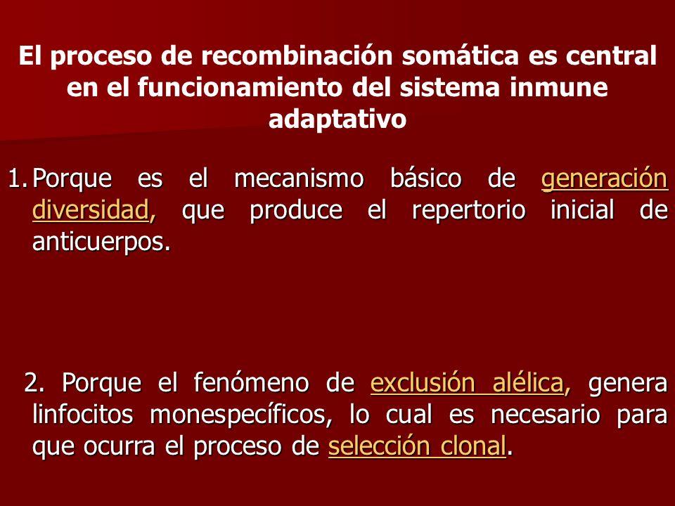 El proceso de recombinación somática es central en el funcionamiento del sistema inmune adaptativo 1.Porque es el mecanismo básico de generación diver