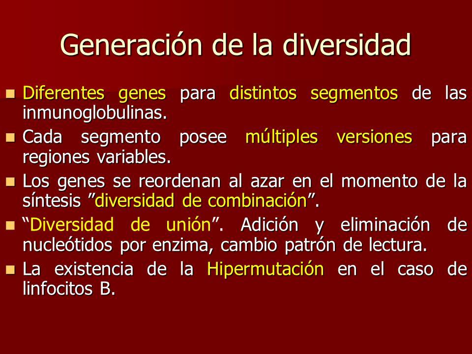 Generación de la diversidad Diferentes genes para distintos segmentos de las inmunoglobulinas. Diferentes genes para distintos segmentos de las inmuno