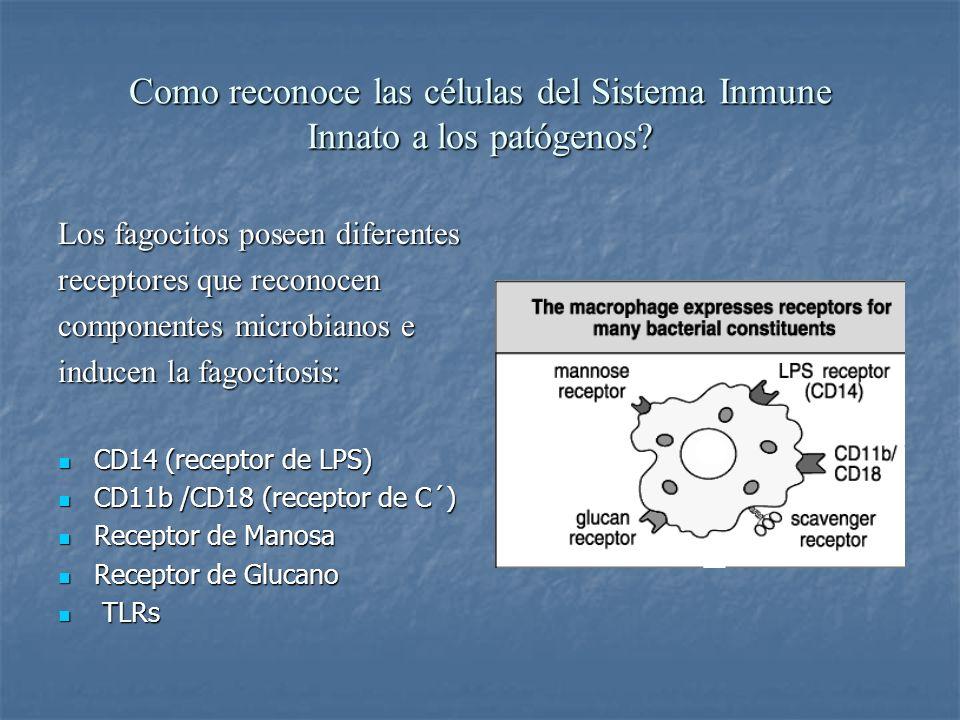 Como reconoce las células del Sistema Inmune Innato a los patógenos? Los fagocitos poseen diferentes receptores que reconocen componentes microbianos