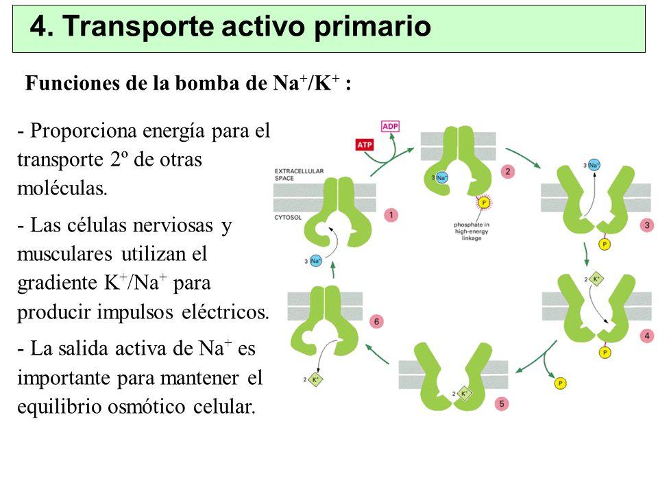 4. Transporte activo primario - Proporciona energía para el transporte 2º de otras moléculas. - Las células nerviosas y musculares utilizan el gradien