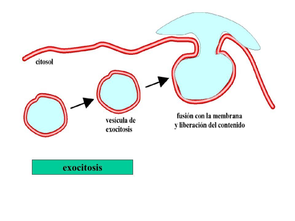 exocitosis