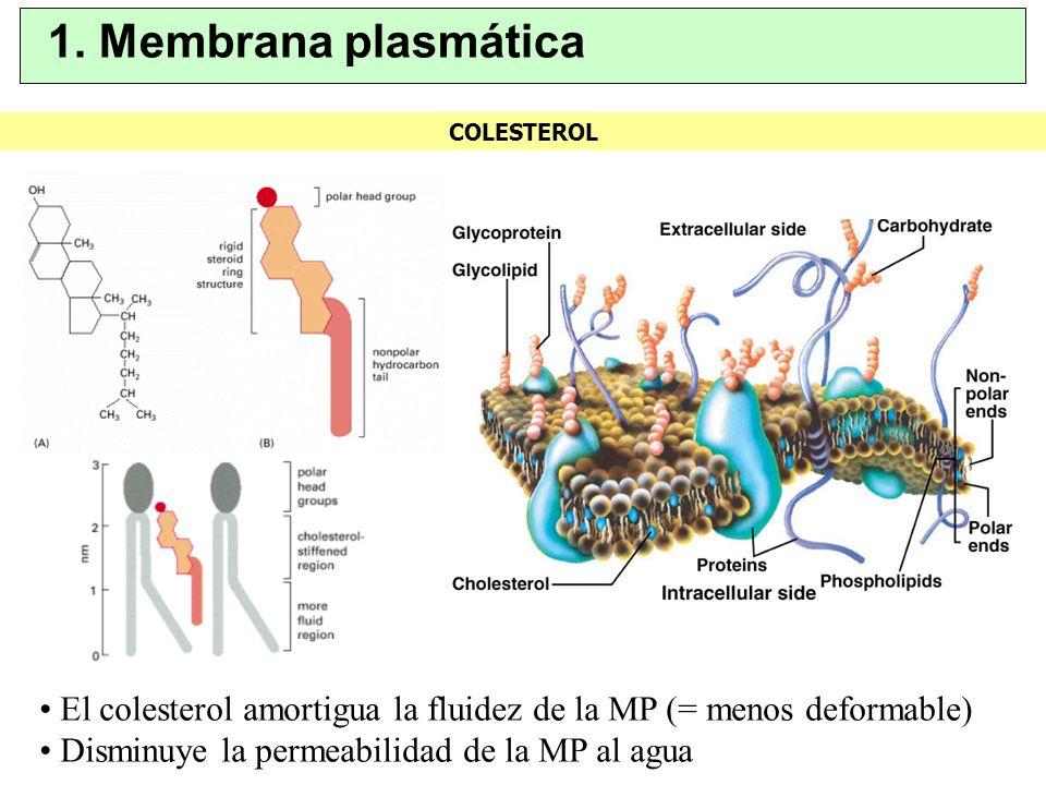 COLESTEROL 1. Membrana plasmática El colesterol amortigua la fluidez de la MP (= menos deformable) Disminuye la permeabilidad de la MP al agua