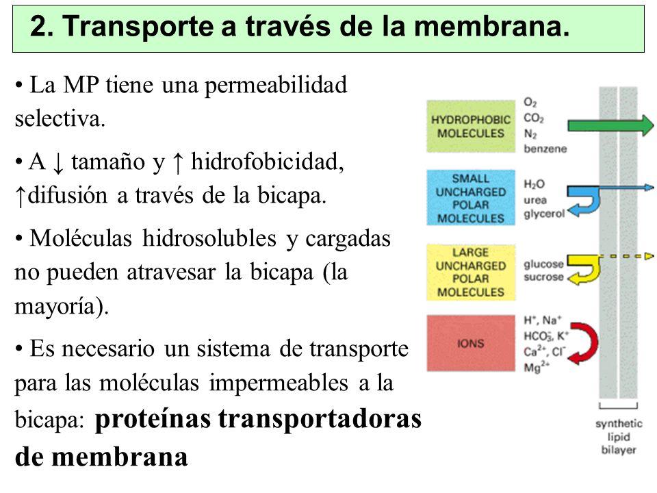 2. Transporte a través de la membrana. La MP tiene una permeabilidad selectiva. A tamaño y hidrofobicidad, difusión a través de la bicapa. Moléculas h