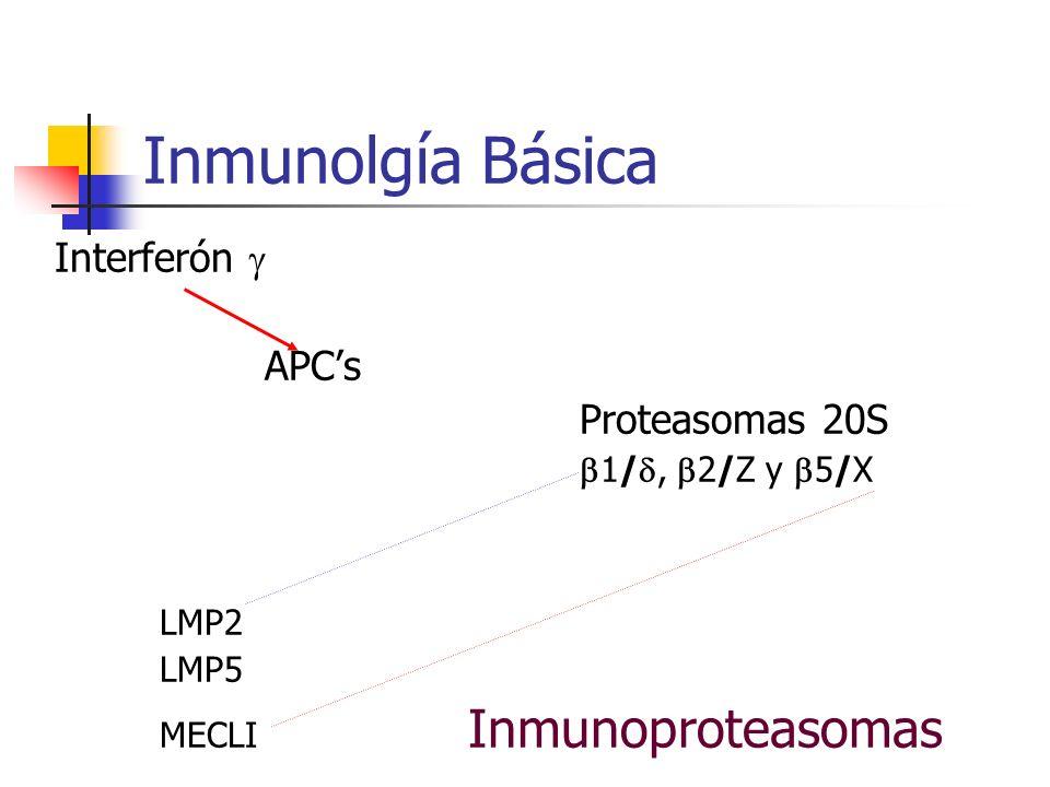 Inmunolgía Básica Interferón APCs Proteasomas 20S 1/, 2/Z y 5/X LMP2 LMP5 MECLI Inmunoproteasomas