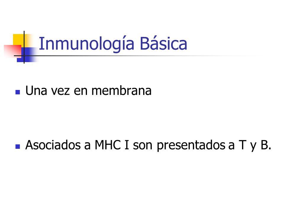 Inmunología Básica Una vez en membrana Asociados a MHC I son presentados a T y B.