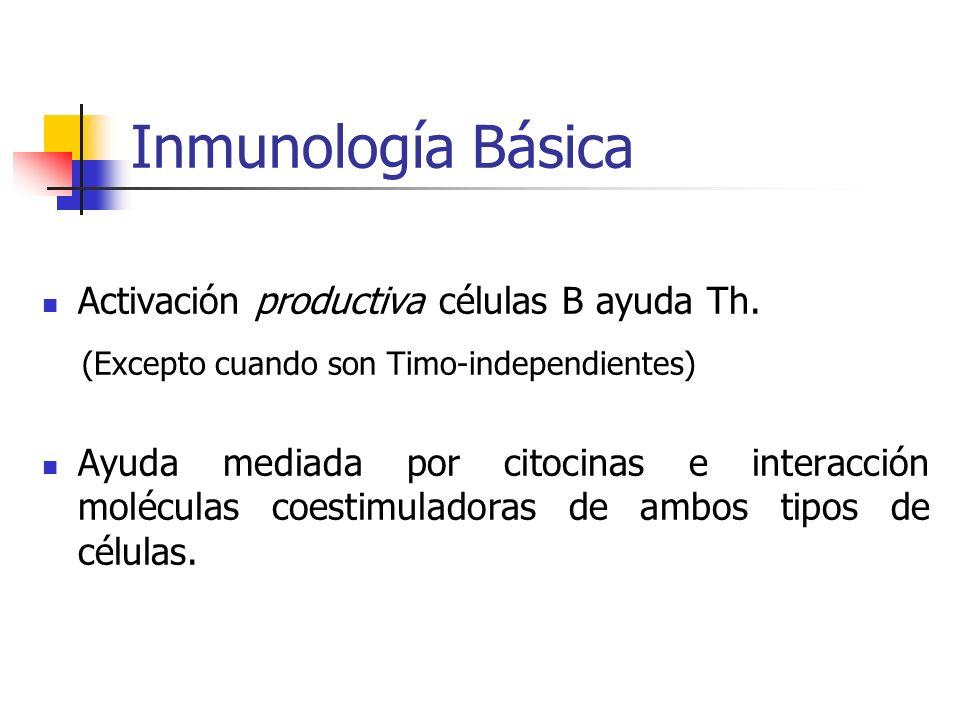 Inmunología Básica Activación productiva células B ayuda Th. (Excepto cuando son Timo-independientes) Ayuda mediada por citocinas e interacción molécu
