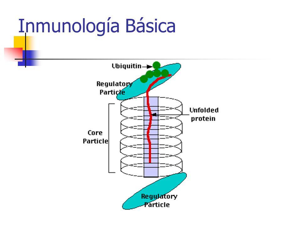 Subcomplejos terminales– función reguladora Interaccionan con proteínas enlazadas ubiquitina Disociandolas, desdoblándolas e insertándolas en el cilindro macromolecular (20S)