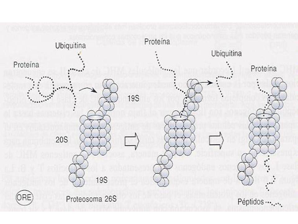 Inmunología Básica Subunidades del cilíndro central y subcomplejos reguladores tienen actividad catalítica (ATP).