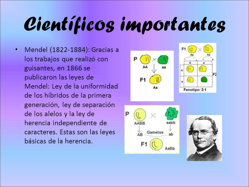 Científicos importantes Mendel (1822-1884): Gracias a los trabajos que realizó con guisantes, en 1866 se publicaron las leyes de Mendel: Ley de la uniformidad de los híbridos de la primera generación, ley de separación de los alelos y la ley de herencia independiente de caracteres.