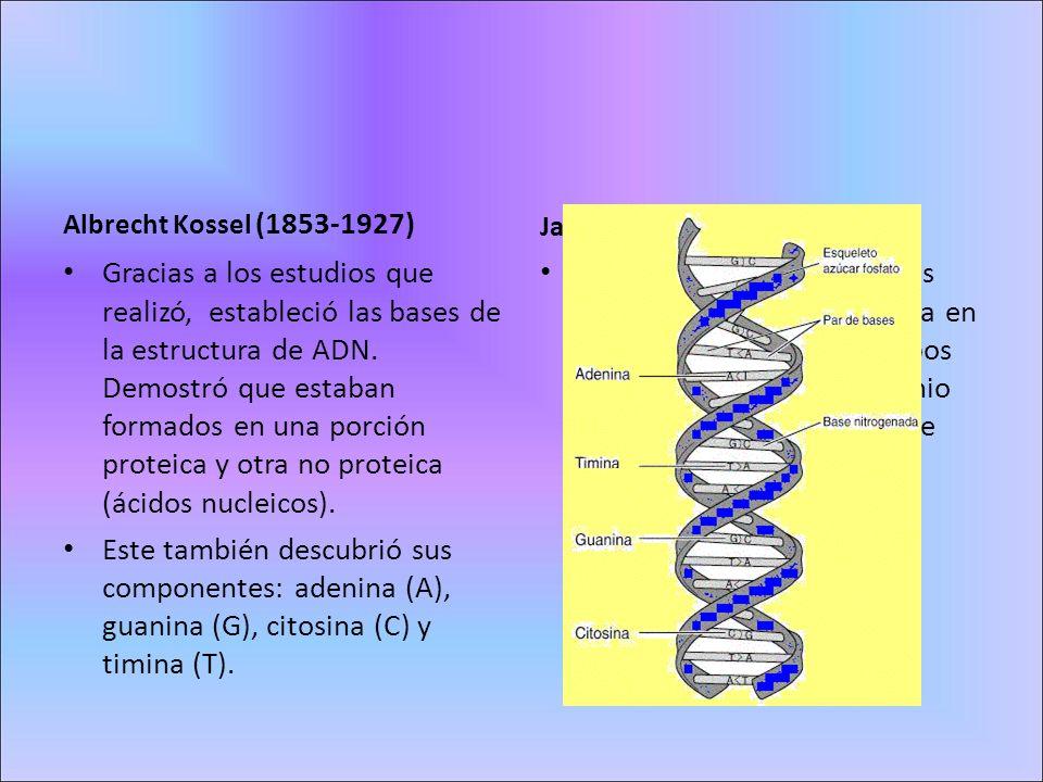 Albrecht Kossel (1853-1927) Gracias a los estudios que realizó, estableció las bases de la estructura de ADN. Demostró que estaban formados en una por