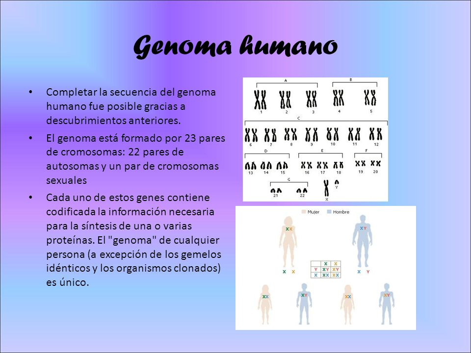 Genoma humano Completar la secuencia del genoma humano fue posible gracias a descubrimientos anteriores. El genoma está formado por 23 pares de cromos