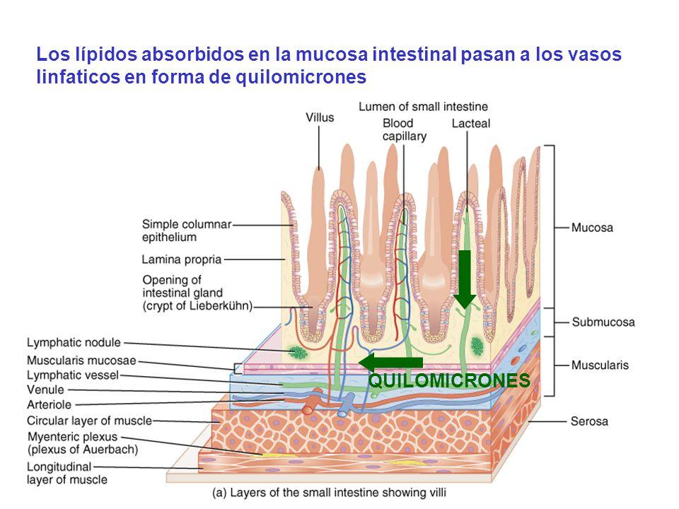 Los lípidos absorbidos en la mucosa intestinal pasan a los vasos linfaticos en forma de quilomicrones QUILOMICRONES