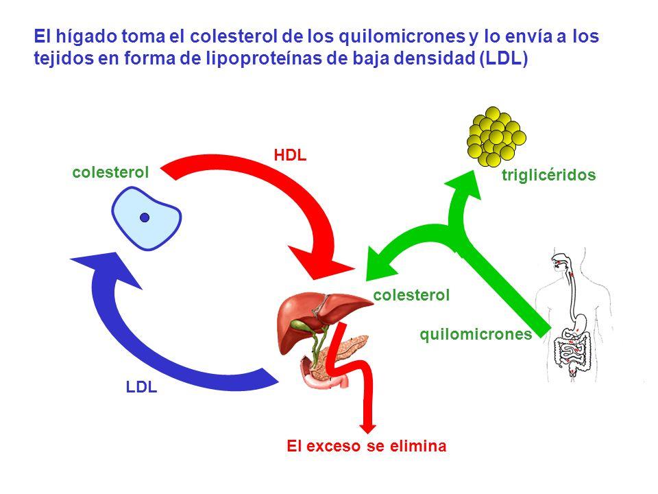 quilomicrones triglicéridos colesterol LDL HDL colesterol El hígado toma el colesterol de los quilomicrones y lo envía a los tejidos en forma de lipop