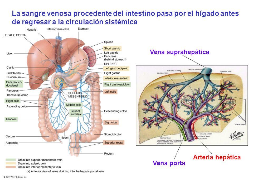 Vena porta Arteria hepática Vena suprahepática La sangre venosa procedente del intestino pasa por el hígado antes de regresar a la circulación sistémi