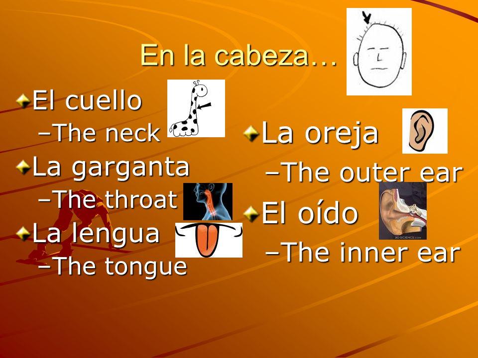 La oreja –The outer ear El oído –The inner ear En la cabeza… El cuello –The neck La garganta –The throat La lengua –The tongue
