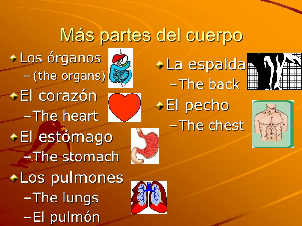 Más partes del cuerpo Los órganos –(the organs) El corazón –The heart El estómago –The stomach Los pulmones –The lungs –El pulmón La espalda –The back El pecho –The chest