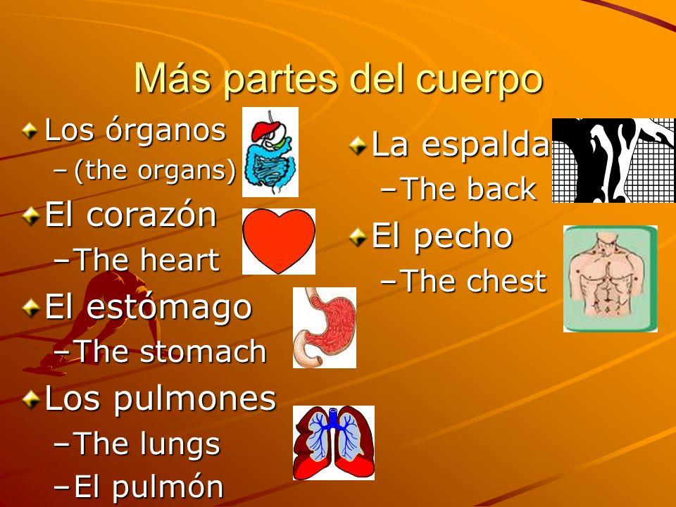 Más partes del cuerpo Los órganos –(the organs) El corazón –The heart El estómago –The stomach Los pulmones –The lungs –El pulmón La espalda –The back